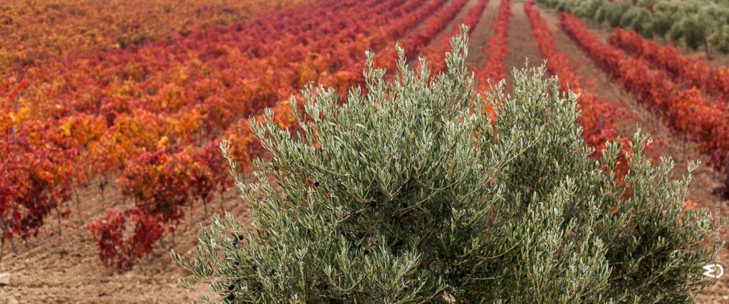 paisaje olivos hojas rojizas